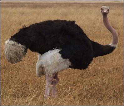 A male ostrich in the Ngorongoro Crater in Tanzania. (Image taken by Nicor. Image
