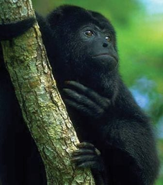 A Guatemalan black howler monkey. (Image taken from commons.wikimedia.org, author unknown)