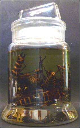 Eastern lubbers (Romalea sp) at the Grant Museum of Zoology. LDUCZ-L764