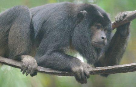 A Guatemalan black howler monkey. (Image taken by Ryan E. Poplin. Image taken from wikimedia.commons.org)