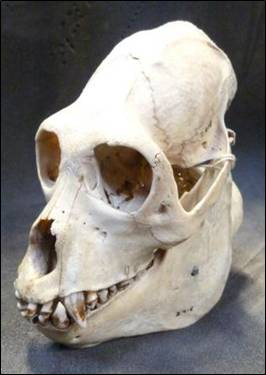 The howler monkey skull (Alouatta sp) at the Grant Museum of Zoology. LDUCZ-Z418