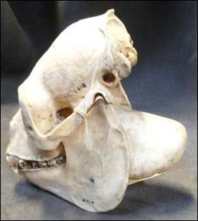 The howler monkey skull showing the greatly enlarged hyoid bone