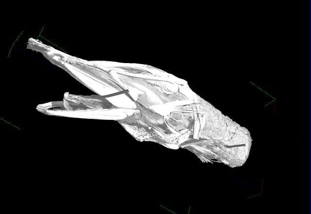 Constructed CT scan of the Grant Museum paddlefish