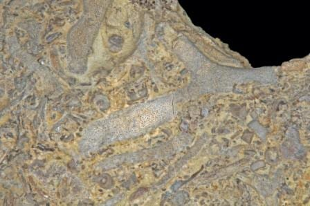 Fossil species of bryozoan (Image taken by Parent Géry. Image taken from www.commons.wikimedia.org)