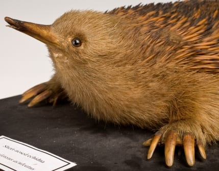 The short-nose of the short-nosed echidna (you may have to consult a long-nosed echidna to appreciate the difference)