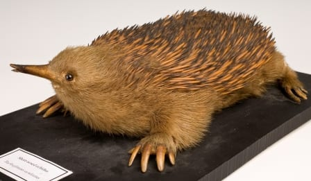 The short-nosed echidna, with its hind feet pointing in the wrong direction.