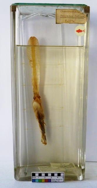 LDUCZ-V379 Grant Museum paddlefish