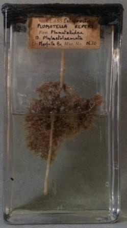 Plumatella repens, a freshwater bryozoa at the Grant Museum of Zoology. LDUCZ-N10