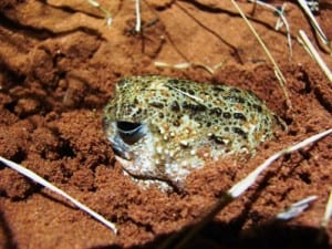 Could knowledge of this water-holding burrowing frog save your life?