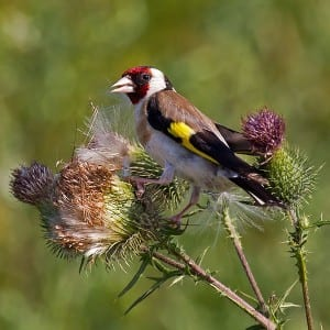 European goldfinch (Carduelis carduelis) European goldfinch (Carduelis carduelis) Image taken by Andreas Trepte. Image obtained from commons.wikimedia.org