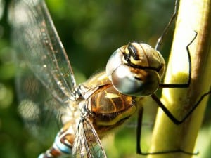 Migrant Hawker (Aeshna mixta) Image taken by Opuntia. Image obtained from commons.wikimedia.org