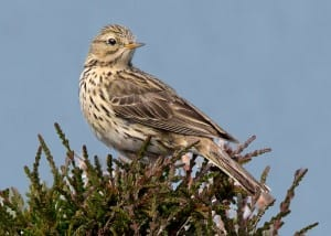 Meadow pipit (Anthus pratensis) Image taken by Zambog. Image obtained from commons.wikimedia.org