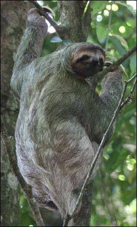 A three-toed sloth (image taken by Charles J Sharp. Image obtained from commons.wikimedia.org)