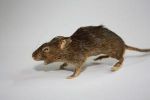Freeze dried mouse