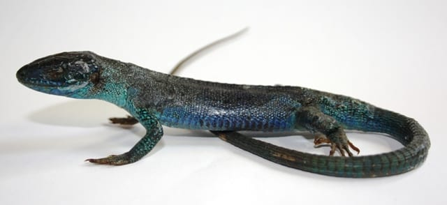 Lizard preserved using Hochstetter's technique