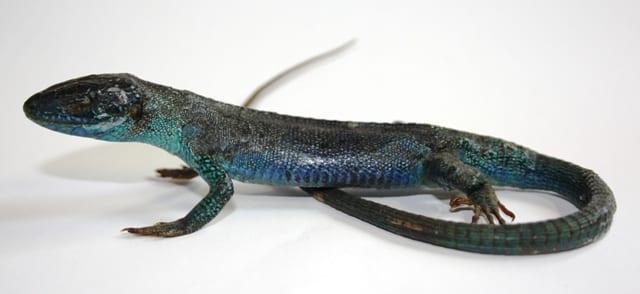 Lizard preserved using Hochstetter's technique
