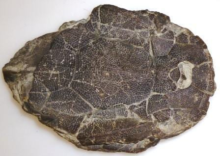 A real Bothriolepis canadensis fossil at the Grant Museum, showing the armour plating. LDUCZ-V1457