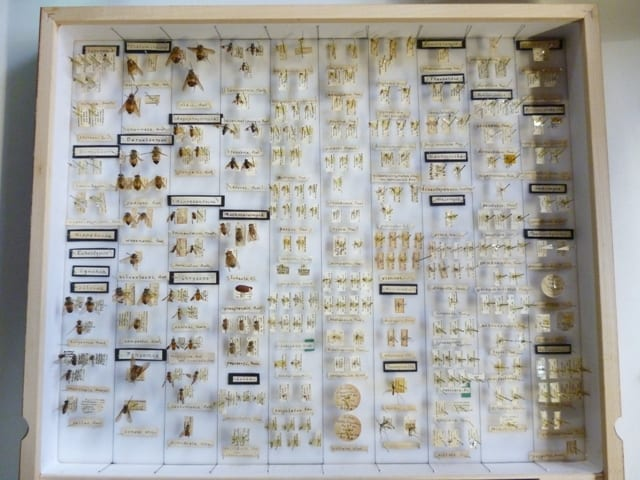 Fly specimens in drawer labelled 'From Small cabinet 3'  from the Grant Museum entomology collections