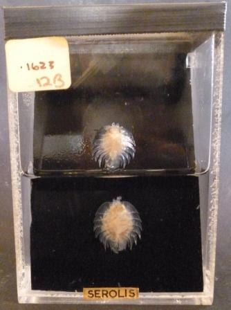 The pair of serolids (Serolis scythei) at the Grant Museum of Zoology. LDUCZ-H145