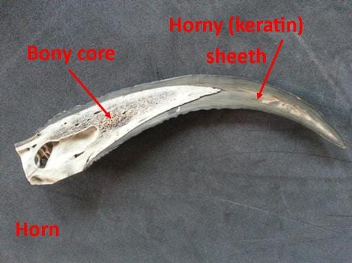 Horn Vs Antler Ucl Museums Amp Collections Blog
