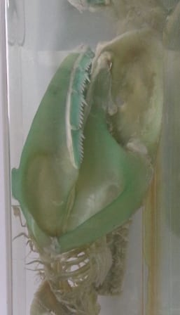 The rather green sharpnose sevengill skull (Heptranchias perlo sp) at the Grant Museum. LDUCZ-V44m.