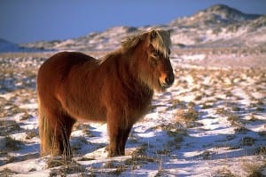 Icelandic ponies, I spent a few holidays riding these shaggy beasts around France. copyright wikipedia.org