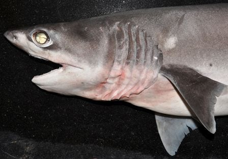 A, sadly, expired sharpnise sevengill shark. (Image taken by K.V. Akhilesh. Image obtained from www.commons.wikimedia.org)