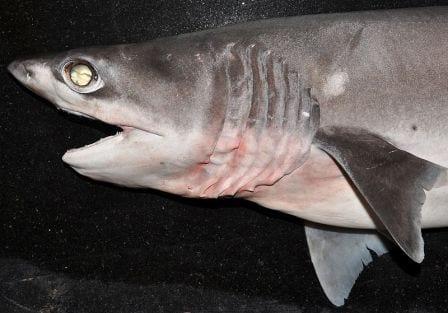 A, sadly, expired sharpnise sevengill shark. (Image taken by K.V. Akhilesh. Image obtained from www.commons.wikimedia.org)