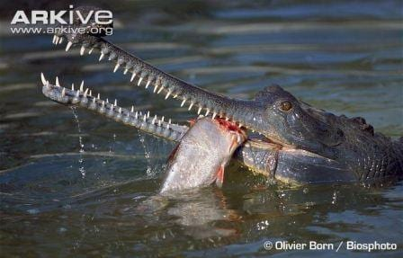 A perfect demonstration of the needle sharp teeth. (Image by Olivier Born/Biosphoto. Image taken from www.arkive.org)