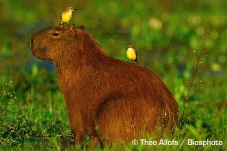 A capybara with two cattle tyrants for decoration. Image taken by Theo Allofs Biosphoto. Image obtained from www.arkive.org