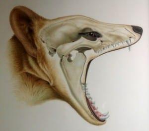 Thylacine. © Sandra Doyle