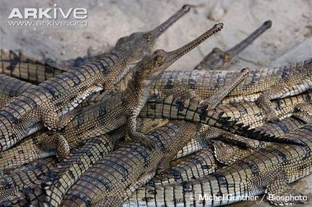 A number of baby gharials at a breeding centre (Image by Michel-Gunther/Biosphoto. Image taken from www.arkive.org)