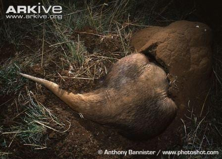 An aardvark getting stuck in to meal time, with its head in a termite nest. (Image by Anthony Bannister www.photoshot.com. Image obtained from www.ARKive.org)