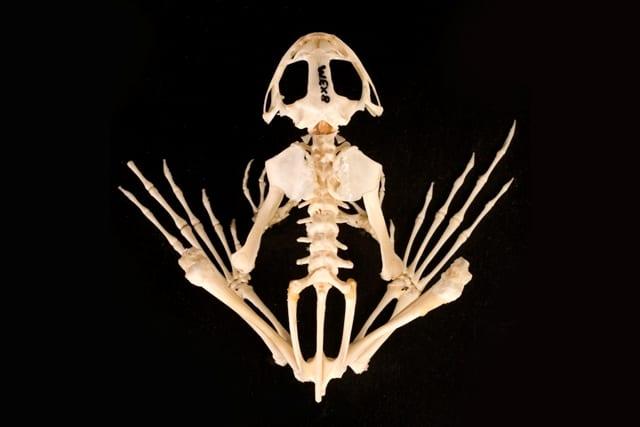 LDUCZ-NON129_IMG4 - Frog_Skeleton