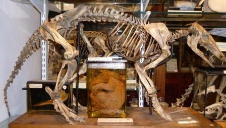 The aardvark skeleton (Orycteropus afer) lovingly standing over an infant aardvark in a jar. LDUCZ-Z144