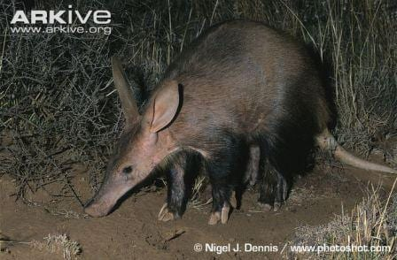 An adult aardvark. (Image by Nigel J. Dennis www.photoshot.com. Image obtained from www.ARKive.org)