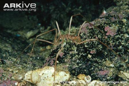 The spindly sea-spider. (Image taken by Dr. F. Ehrenstrom and L. Beyer. Gettyimages.com. Image obtained from www.ARKive.org).jpg