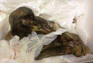 The Oxford University Museum of Natural History's Dodo specimen