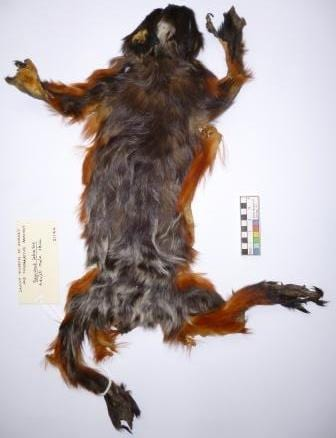 The red-chested white-moustached rather-flat tamarin at the Grant Museum of Zoology