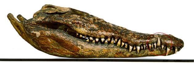 alligator crocodile comparison