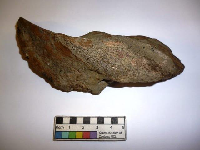 Image of Grant Museum specimen of Edaphodon