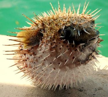 An inflated porcupinefish in the Maldives. Image taken by Ibrahim Iujaz. Image obtained from commons.wikimedia.org