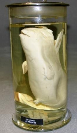The beluga whale foetus (Delphinapterus leucas) here at the Grant Museum. LDUCZ-Z2328