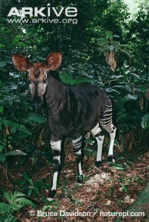 A male okapi in the wild. Image copyright of Bruce Davidson naturepl.com