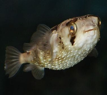 A non-inflated porcupine fish. Image by Malene Thyssen. Image taken from commons.wikimedia.org