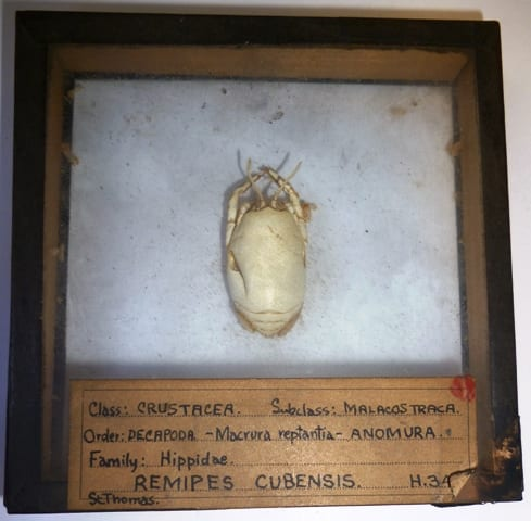 Image of a specimen of the crab Hippa testudinaria