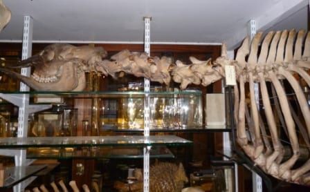 The head, neck and ribcage of the okapi (Okapia johnstoni sp) at the Grant Museum of Zoology (we couldn't get the whole thing in). LDUCZ-Z2788