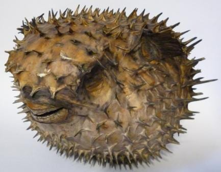 The (inflated) porcupinefish at the Grant Museum