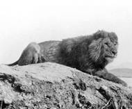 This animal is thought to be a barbary lion, another possibly extinct potential subspecies, like the Cape lion. Taken by Alfred Edward Pease in 1893. (Image obtained from commons.wikimedia.org).
