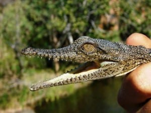 An Australian freshwater crocodile. One of the smaller lovelier ones (a baby) (C) Jack Ashby